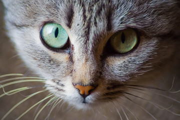 Portrait of cat, cat muzzle, cat eyes. Cat looking at the camera.