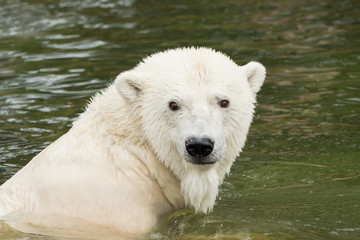 A polar bear is swimming in the water