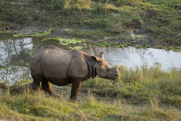 Juvenile greater one-horned rhino (Rhinoceros unicornis) in Chitwan national park, Nepal