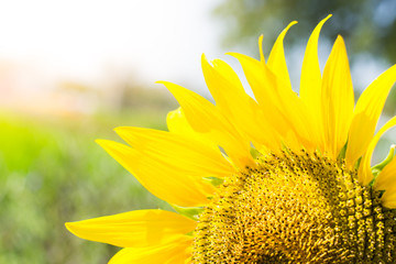 sunflower in blooming in the field,  sunflowers backgrounds