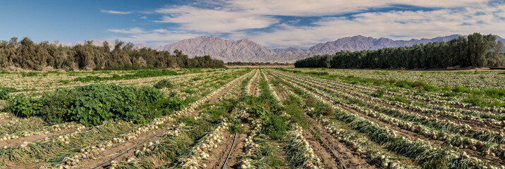 Panoramic view on field with ripening onions. Advanced agriculture in desert areas of the Middle East