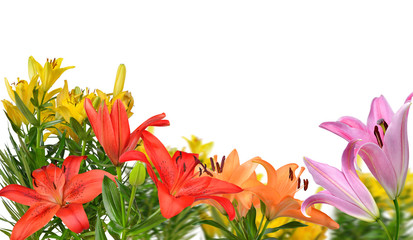 Colorful lily flowers isolated on a white background.