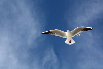 seagull close flying