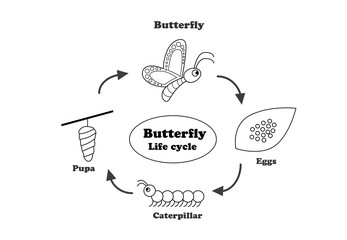 Butterfly life cycle in outline style, vector