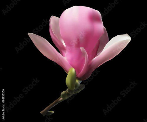 Pink Magnolia Single Flower Isolated On Black Stock Image And
