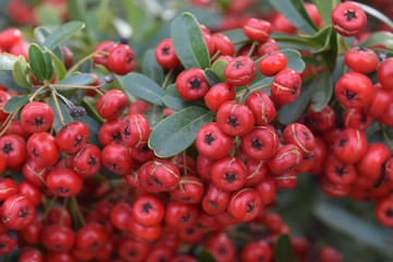 Large Cluster of a Red Berries on a Bush