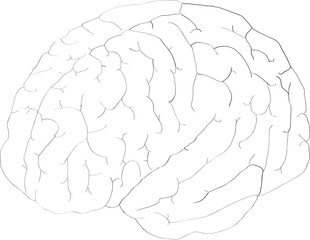 Simple vector illustration of human brain on white background. Vector EPS 10 illustration style