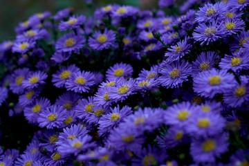 blue violett flowers in the english garden in munich