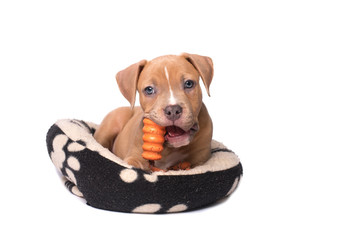 American staffordshire terrier puppy play on his pillow