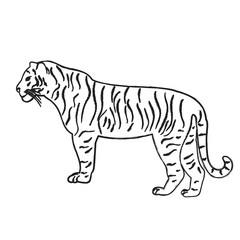 isolated sketch of a tiger
