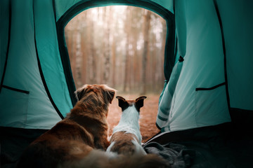 Two dogs in the tent. Jack Russell Terrier and Nova Scotia duck tolling Retriever