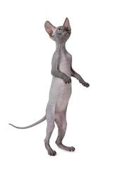 Hairless Don Sphinx cat