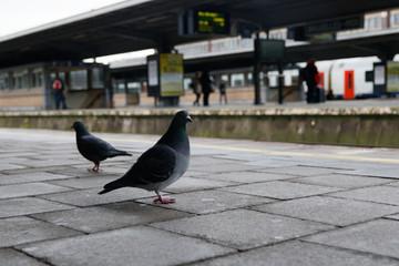 Pigeon sur un quai de gare - Gare de Bruxelles