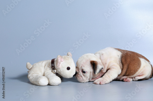 2 Month Purebred English Bulldog Puppy On Gray Screen Stock Photo