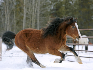 Welsh Mountain Pony Bay Stallion  galloping on snow, close up