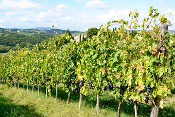 Weinstöcke auf der Tenuta Di Monaciano