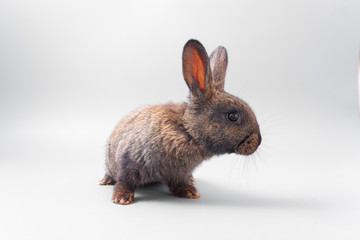 chocolate brown rabbit with red eyes on a gray background. Studio.