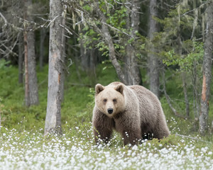 Brown bear (Ursus Arctos) standing on the edge of an old forest
