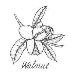 Walnut botanical illustration.