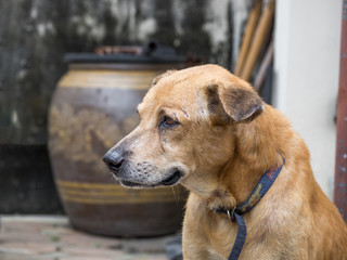 Aging dog looking sad Because of sick and lack of treatment