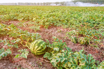 ripe watermelons on the field