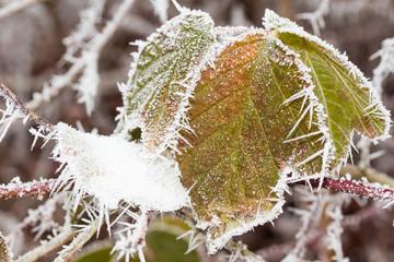 Brombeerstrauch im Winter