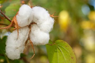 Ripe blown cotton boll on a green garden blurry background