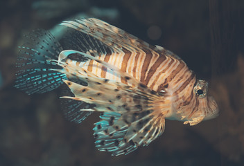 Close-up view of Devil firefish. Pterois miles.