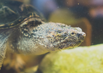 Common snapping turtle in the zoo. Chelydra serpentina.