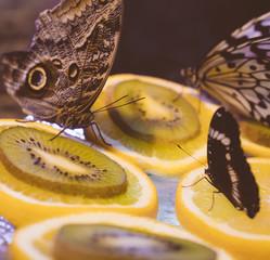 Feeding of butterflies in an artificial environment