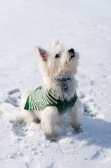 West Highland White Terrier playing in a snow in the park