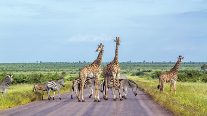 Foto auf Gartenposter Giraffe Giraffe and Plains zebra in Kruger National park, South Africa