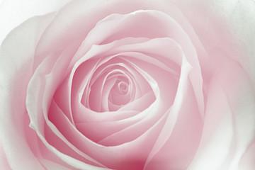 macro de una rosa