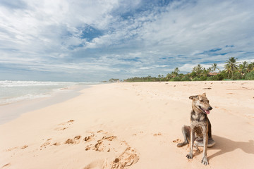 Sri Lanka - Ahungalla - A wild dog sitting in the sand