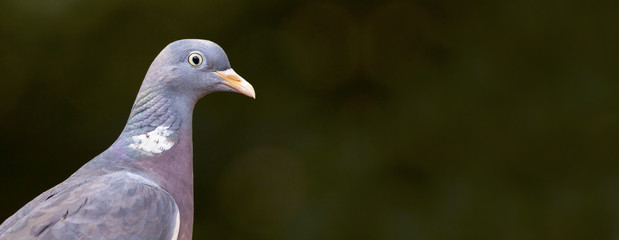 Beautiful pigeon close-up - web banner with copy space