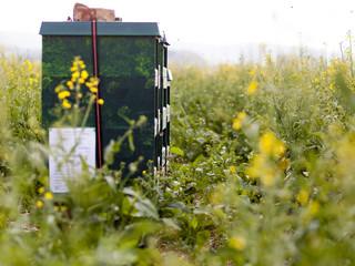 Bienenstöcke stehen in einem Rapsfeld um später Rapshonig zu ernten