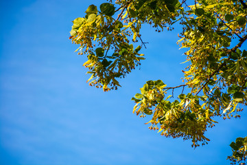 branch of linden tree in blossom. beautiful springtime nature background against the blue summer sky