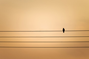 silhouette one pigeon bird sitting on wires at the sunset time with copy space.