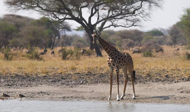 Giraffe in Tarangire National Park, Tanzania