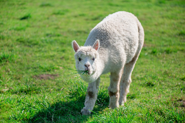 Young alpaca in farmland. Lama is eating grass. Green background