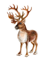 Reindeer isolated on white background. Deer with horns. Illustration. Watercolor. Template.
