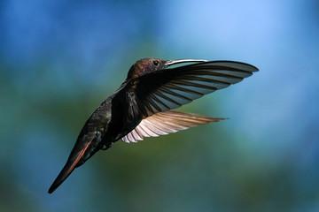 Black Throated Mango Hummingbird - Jamaica