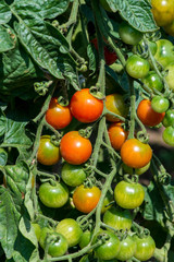 Branches with cherry tomatoes in the vegetable garden