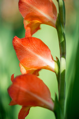 Flowering gladiolus in the garden - selective focus