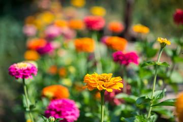 Flowering zinnia in the garden - selective focus, copy space