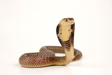 Monokelkobra (Naja kaouthia) - Monocled cobra