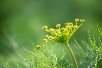 flowering dill plants - selective focus, copy space