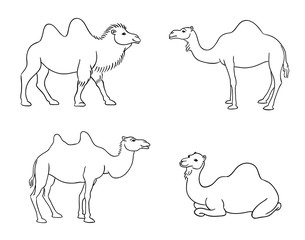 Camels in contours - vector illustration