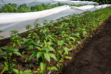 greenhouse with pepper plant and drip irrigation - selective focus