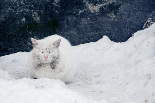 frozen dirty white cat sitting in the snow on the background of the shabby blue wall animal pet backdrop nature wallpaper